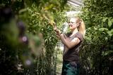 Petra Fleischhacker bindet Tomatenpflanzen.jpg