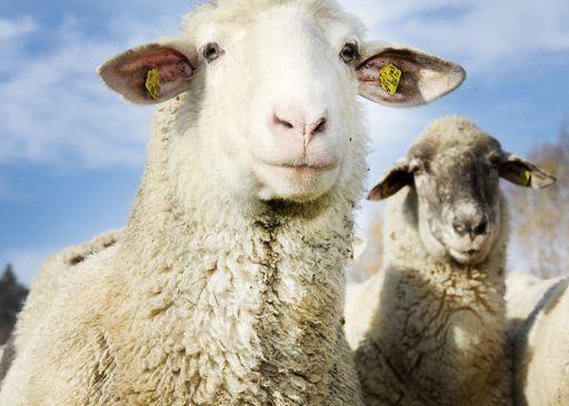 Schafe © LK NÖ/Paula Pöchlauer-Kozel