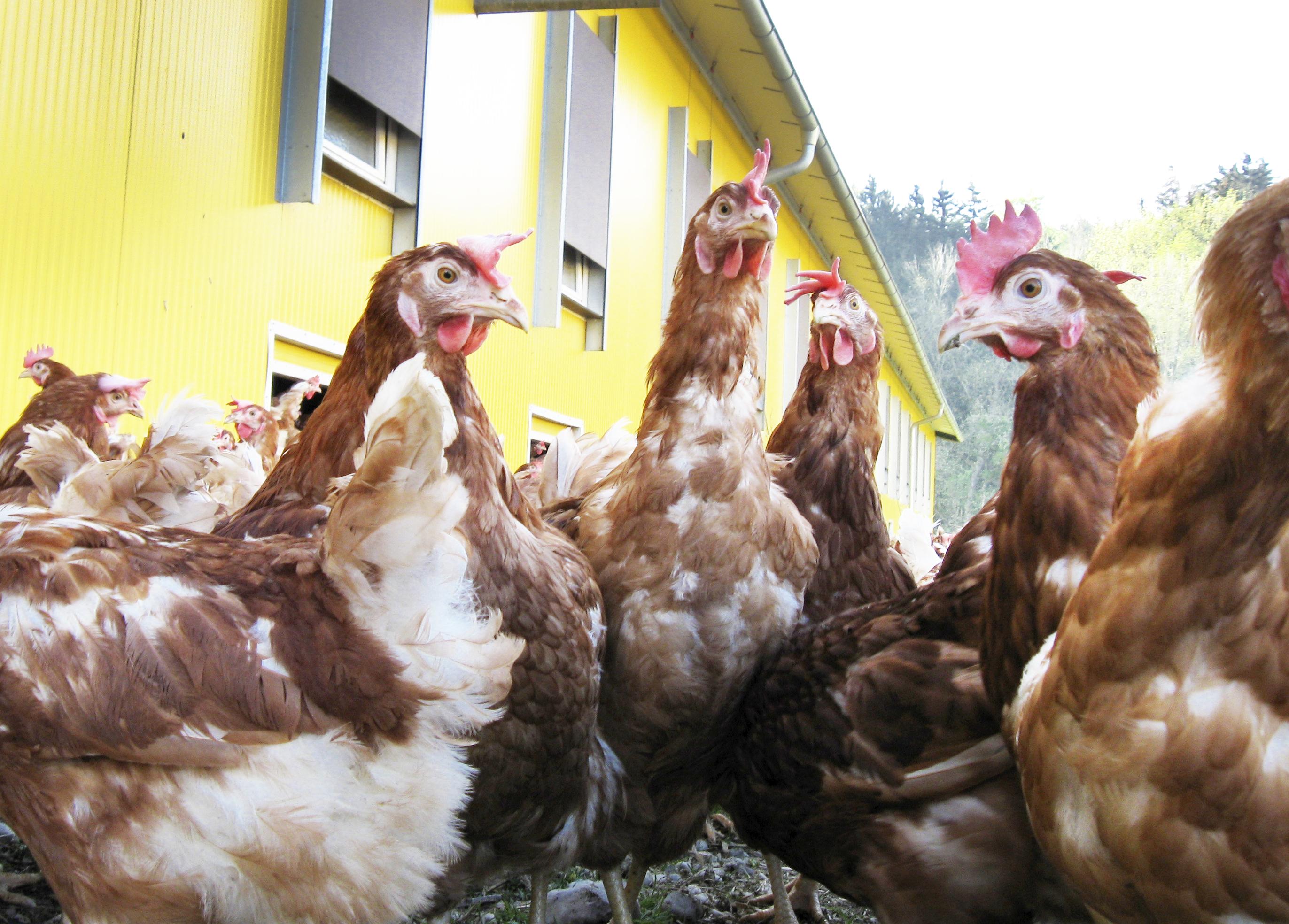Hühner © LK NÖ/Paula Pöchlauer-Kozel