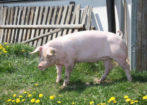 Schwein © LK NÖ