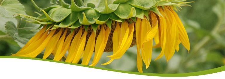 Sonnenblume ikarus.cc