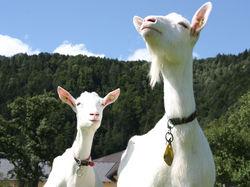 Schaf- und Ziegenmilch © Archiv