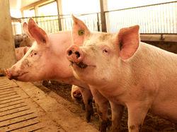 Schweinemast © Archiv
