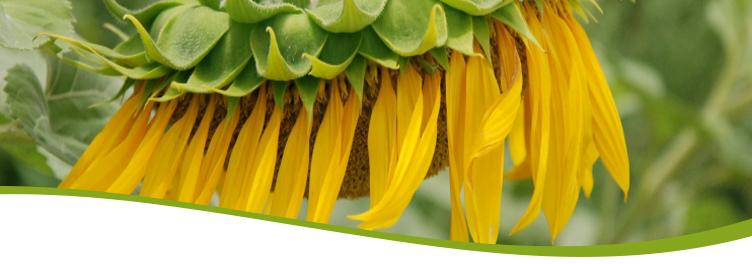 Sonnenblume Herbert Bauer