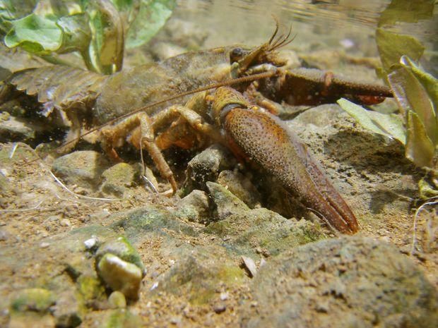 Flusskrebs(c)Gert Richter © Gert Richter