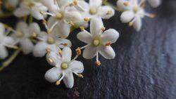 Hollerblüte2 © Schneider Romana