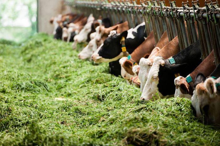 Rinder Martina Siebenhandl © BMLFUW / Martina Siebenhandl