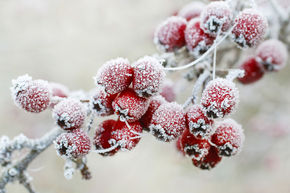 Hagebutten Frost © fotolia_agneskantaruk