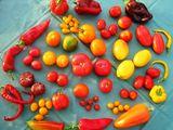 Tomatenvielfalt_siegrid(c)Peter Zipser © LFI NÖ/Peter Zipser