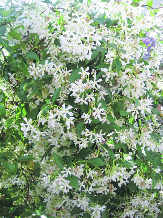 jasmin kletterpflanze winterhart – rekem, Garten und Bauen