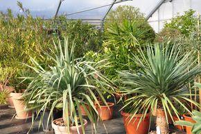 �berwinterung f. mediterrande K�belpflanzen 1 © zVg