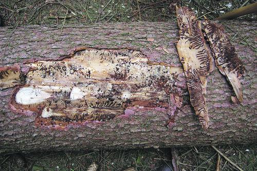 Außergewöhnlich Borkenkäfer: Rechtzeitig reagieren | Landwirtschaftskammer &UH_79