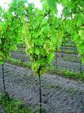 Symptome von Magnesiummangel an den Blättern einer Weißweinsorte ? Gelbverfärbung der Blattflächen zwischen den Blattadern ©Archiv