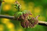 Pockenmilbenbefall an jungen Blätter ©E. Kührer, WBS