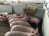 Strohraufe: Stroh als Beschäftigungsmaterial findet großen Anklang bei den Schweinen. ©DI Eduard Wagner/LK NÖ