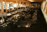 Nach dem Fressen ruhen die Kühe gemeinsam in der Gruppe. ©Lorenz Strickner/LK Tirol