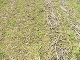 Maisanbau mit (links) und ohne (rechts) vorhergehende Saatbettbereitung. In der Entwicklung des Maispflanzen ist kein Unterschied zu erkennen. ©LK NÖ/Josef Wasner