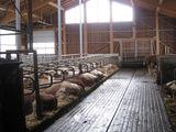 So soll es sein. Die Kühe liegen gerade in den Liegeboxen und diese sind nicht verkotet. ©DI Monika Gstöttinger