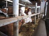 Das Stirnrohr lässt der Kuh schon im Liegen keinen Platz für eine gerade Kopfhaltung. Sie kann beim Aufstehen daher nach vorne und oben keinen Schwung holen und muss den Kopfschwung mühsam entweder seitlich durchführen oder ohne Schwung aufstehen. Dadurch wird für lahme oder ältere Kühe der Aufstehvorgang zur Gewaltprozedur. Folgen davon können verlängerte Stehzeiten bei lahmen Kühen sein und eine schlechtere Futteraufnahme. Liegen lahme Kühe doch einmal stehen sie nicht mehr so schnell auf, weil es ihnen schwerfällt. Somit sinkt die Futteraufnahme und diese Kühe sind besonders gefährdet für Ketosen und Pansenübersäuerungen weil sie den Futtertisch zu wenig häufig besuchen. ©DI Monika Gstöttinger