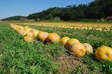Der Aufwuchs der Untersaat erleichtert das Zusammenschieben der Kürbisfrüchte - Schlögl.jpg