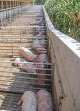 Mindestens 1,5 Meter hohe Mauern und geschlossene Holz- oder Kunststoffwände gelten als wildschweinesicher. Mit einer solchen Auslaufwand ist kein zusätzlicher Zaun notwendig. ©Beratungsteam Schweinehaltung/LK Niederösterreich