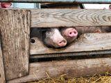 Diese Auslaufbegrenzung verhindert nicht den direkten Rüsselkontakt zwischen Haus- und Wildschweinen. Deshalb ist zusätzlich ein Zaun im Abstand von zumindest einem Meter zum Auslauf notwendig. ©Beratungsteam Schweinehaltung/LK Niederösterreich