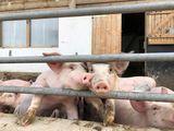 Die innere Auslaufabgrenzung muss ein Entweichen der Hausschweine verhindern. Deren Gestaltung hängt demnach von der gehaltenen Tierkategorie ab. ©Beratungsteam Schweinehaltung/LK Niederösterreich