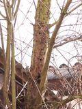 Asiatischer Laubholzbockkäfer Ausbohrlöcher Ahorn .jpg