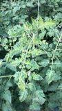 Jordan Virus Symptome Tomate .jpg