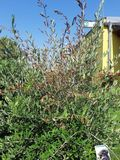 Dürre Äste Olivenbaum.jpg