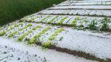 Hagelschaden an Gemüse in OÖ am 11.06.2021