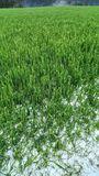 Hagelschaden in Getreide in OÖ am 11.06.2021