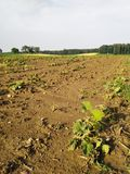Hagelschaden an Kürbis in Hartl (STMK) 21.06.2021