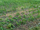 Hagelschaden an Mais in Lenzing (OÖ) am 22 06.2021