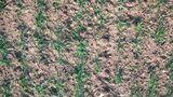 Spätere Saatzeiten Mitte Oktober bei Dinkel erschweren die Etablierung von Beikräutern. ©Martin Fischl/LK Niederösterreich