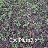 10 Bio-Zwischenfruchtversuch Ranshofen.jpg