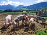 Schweine Freiland