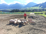 Schweine Freigelände